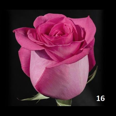 Наш каталог роз, тут представлены основные сорта роз которые мы привозим на наш склад цветов. .