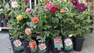 Саженец сортовой розы