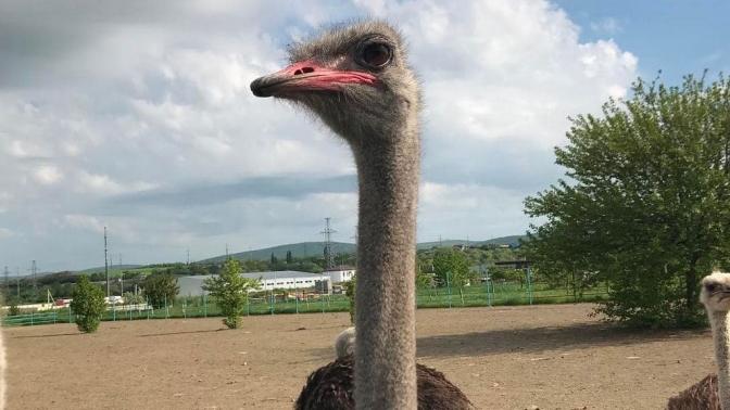 Экскурсия постраусиной ферме спосещением контактного зоопарка отсафари-парка «Аристей»